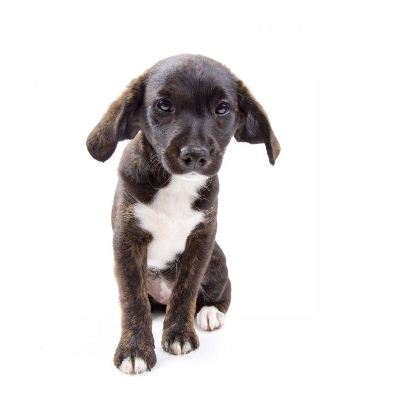 puppy-dog-on-white-14747968448oh